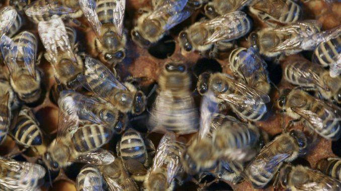 Tanzende Honigbiene